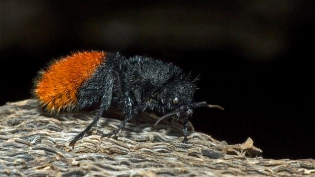 Dasymutilla magnifica, a velvet ant from Texas (Credit: David Welling/NPL)