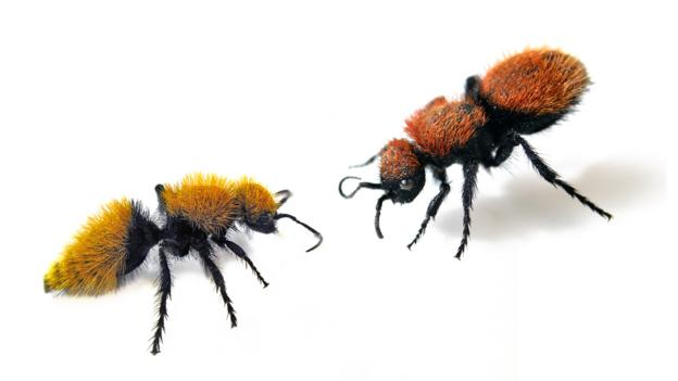 Velvet ants mimic their neighbours (Credit: Joseph Wilson, Utah State University)