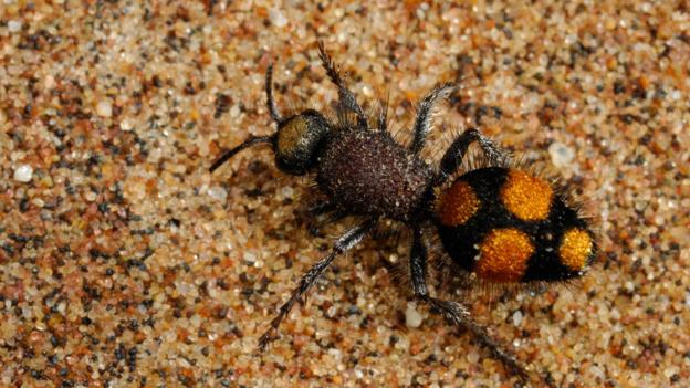 An unidentified velvet ant from the Namib desert (Credit: Solvin Zankl/NPL)