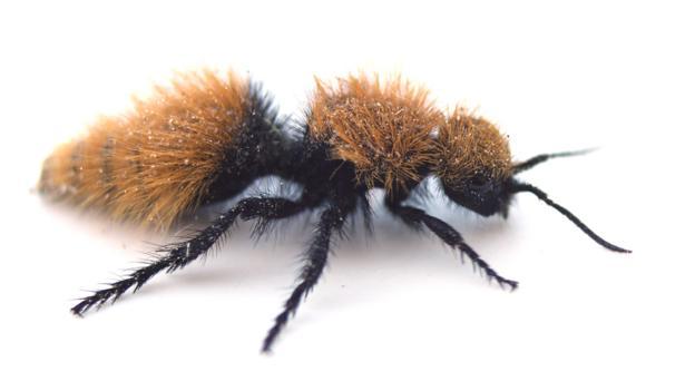 It's cute, but this velvet ant is packing (Credit: Joseph Wilson, Utah State University)