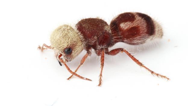 A velvet ant from Tooele, Utah (Credit: Joseph Wilson, Utah State University)