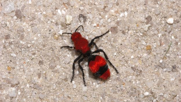 Velvet ants look and smell scary, plus they squeak and sting (Credit: Barry Mansell/NPL)