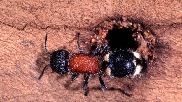 A female velvet ant approaches her host insect's nest (Credit: Kim Taylor/NPL)