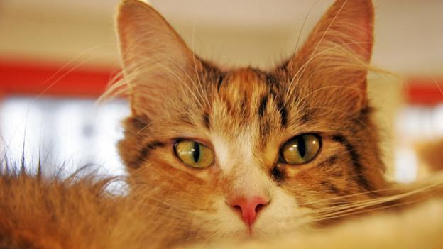 BBC - Capital - Is a cafe full of cats the cure for ...