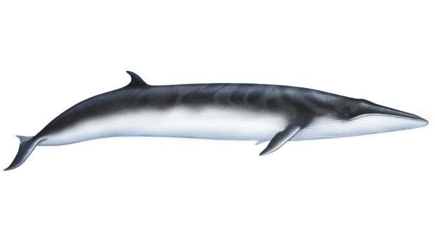 Illustration of an Omura's whale (Balaenoptera omurai) (Credit: Rebecca Robinson/NPL)
