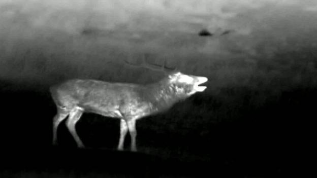 BBC - Earth - Red deer night-time rut drama revealed