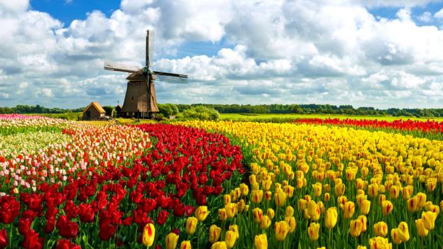Holland's tulip fields are reminiscent of the Yellow Brick Road (Credit: Credit: JacobH/istock)