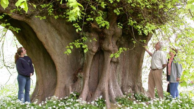 p038f582 BBC - Earth - 11 of Britain's most legendary trees