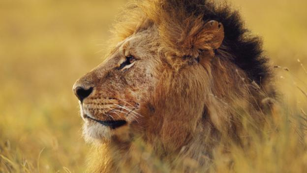 BBC - Earth - Famous lion found poisoned