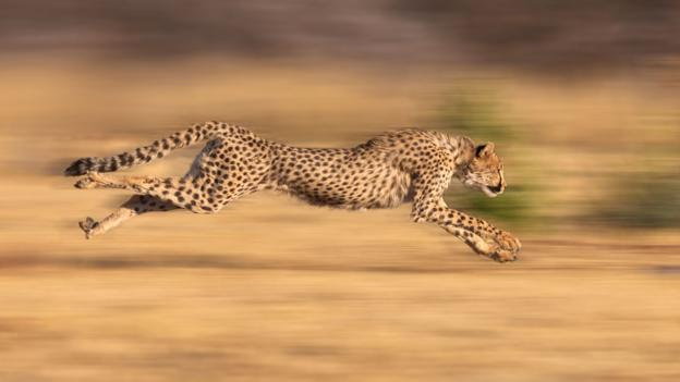 A cheetah in full sprint (Credit: Jim Zuckerman/Alamy Stock Photo)
