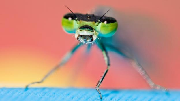 Dragonflies are highly successful hunters (Credit: All Canada Photos/Alamy Stock Photo)