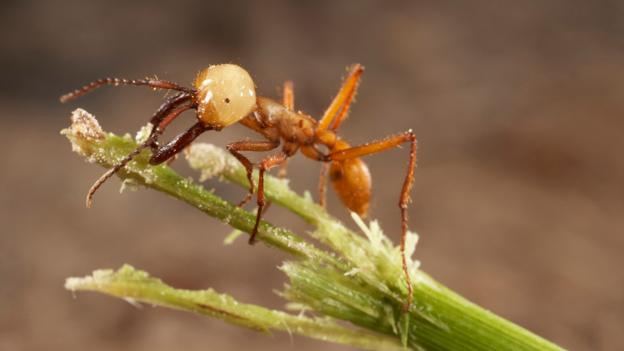 A lone army ant on the prowl (Credit: Les Gibbon/Alamy Stock Photo)