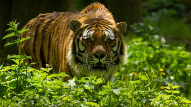 An Amur tiger stalks through the undergrowth (Credit: Mark Malkinson/Alamy Stock Photo)