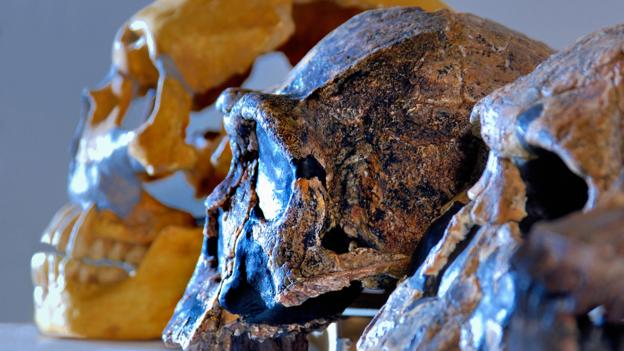 Skulls of a Neanderthal, Homo erectus and H. rudolfensis (Credit: Deco/Alamy Stock Photo)