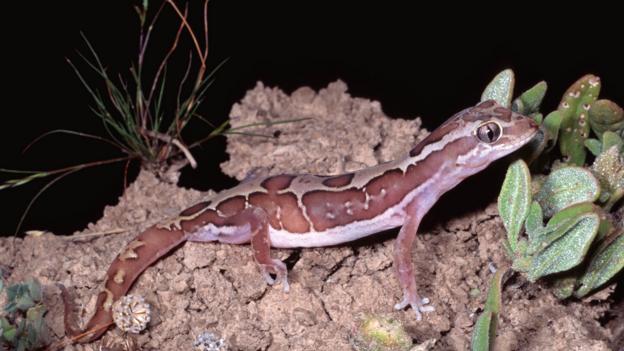 Box-patterned gecko (Diplodactylus steindachneri) (Credit: Robert Valentic/naturepl.com)