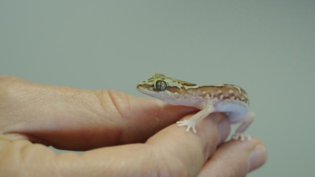 Box-patterned gecko (Diplodactylus steindachneri) (Credit: Jolanta and Gregory Watson)