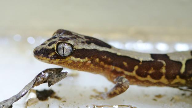 "Box-patterned geckos have ""superhydrophobic"" skin (Credit: Jolanta and Gregory Watson)"