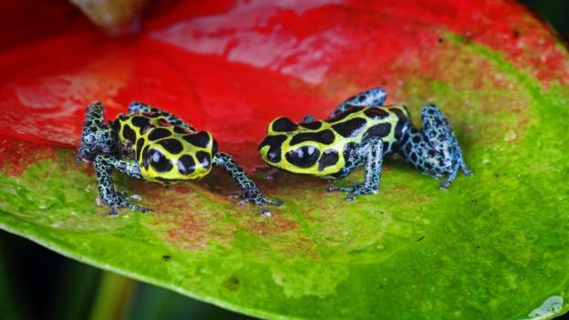The mimic poison frog (Credit: Michael D./Naturepl.com)