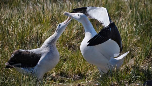 Even birds known for their loyalty, like these wandering albatross are prone to betrayal.