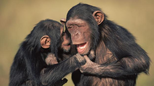 Chimpanzees are extremely promiscuous (Credit: Anup Shah/Naturepl.com)