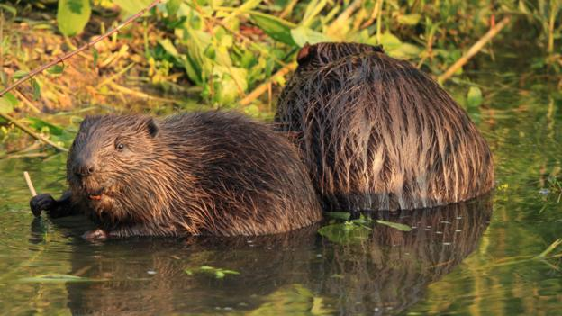 European beavers are faithful to each other (Credit: Blickwinkel/Alamy)