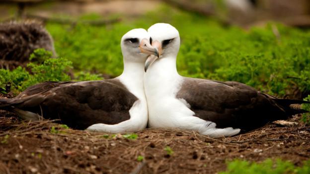 Laysan Albatross mate for life (Credit: Kris Krg/CC by 2.0)