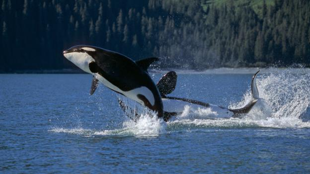 Captive killer whales
