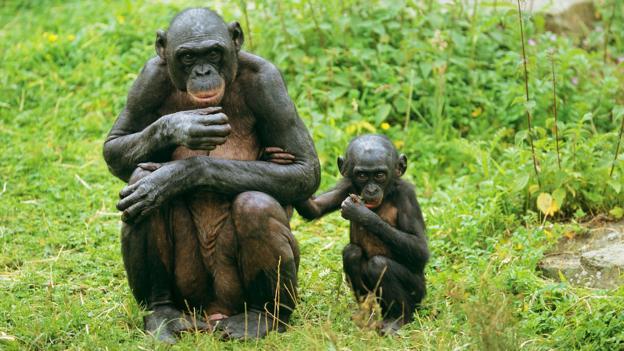 and Bonobo sperm penis