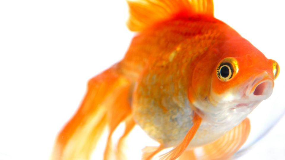 Bbc earth four secrets your goldfish is hiding from you for What fish can live with goldfish