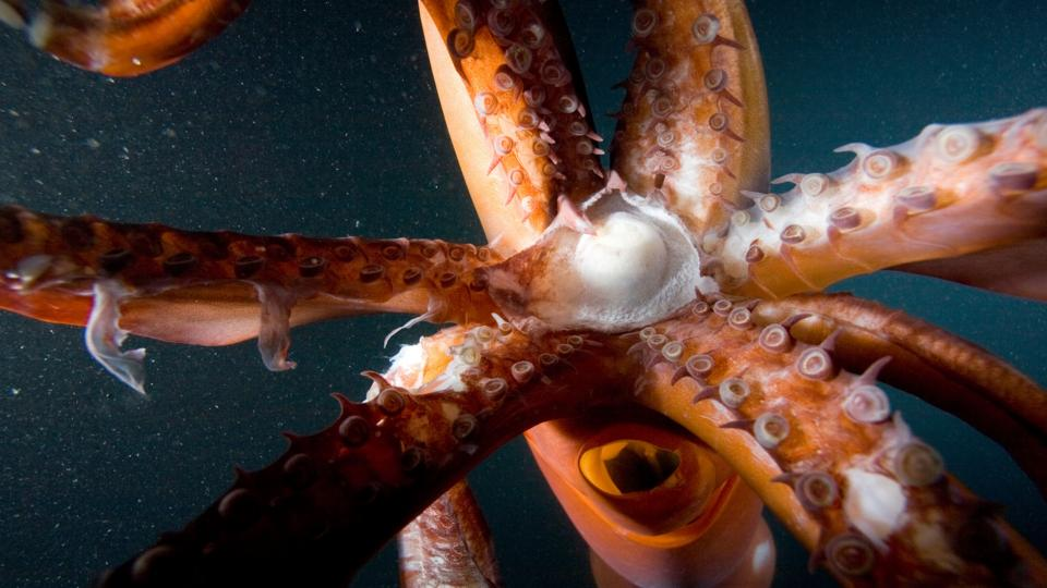 bbc  earth  are massive squid really the sea monsters of