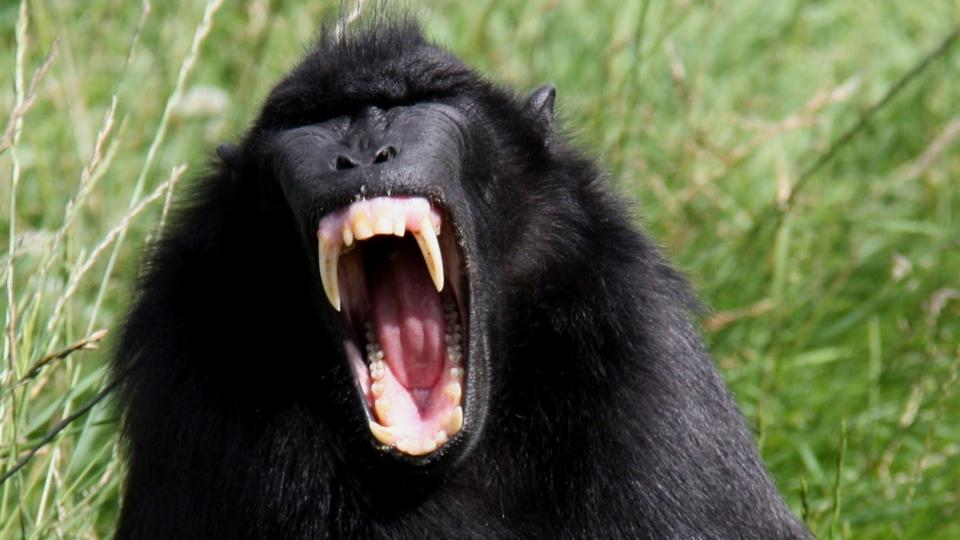 an observation and research of the primate gorilla Frederick wiseman usa yerkes national primate research its panoptical structure of both confinement and observation are obvious.