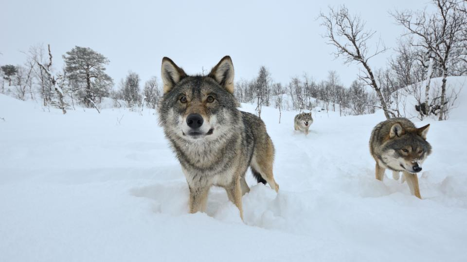 Bbc Earth The Truth About Wolves