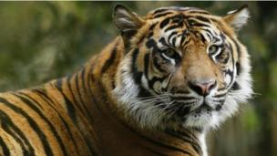 China has publicly admitted permitting the trade in skins from captive tigers, an international convention to protect endangered species hears.