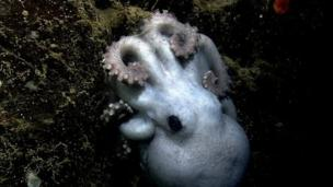 A deep-sea octopus is observed nursing her eggs for more than four years - the longest brooding time seen in any animal.