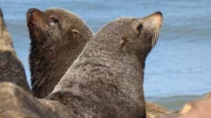 Marine mammals brought tuberculosis to the Americas before the Europeans arrived, a study suggests.