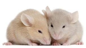 Neuroscientists artificially turn a mouse's fearful memory into a positive one, and vice versa.