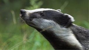 A High Court bid to halt this year's badger culling, which will take place without independent monitoring, fails.