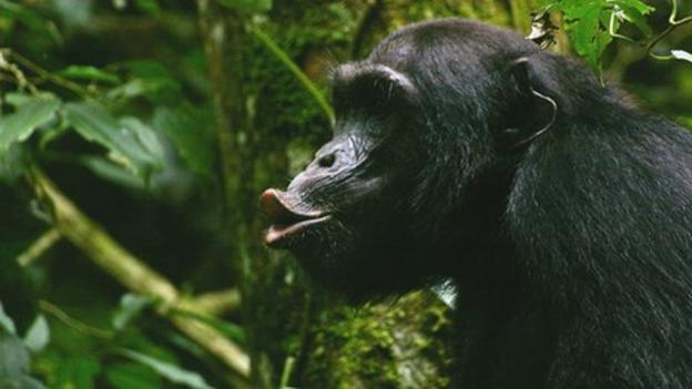 A major international study finds that killings among chimpanzees result from normal competition, not human interference.