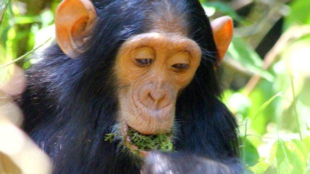 Researchers capture the social spread of a new type of tool use in a wild population of chimps for the first time.