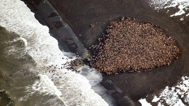 Tens of thousands of Pacific walrus have been photographed moving ashore in northwest Alaska.