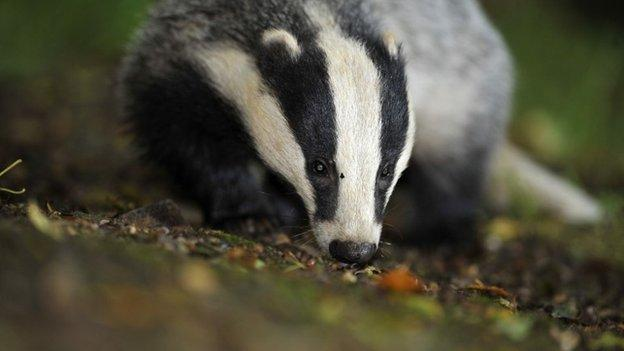 Fewer than half the target number of badgers were killed in this year's cull in Gloucestershire, Defra announces.