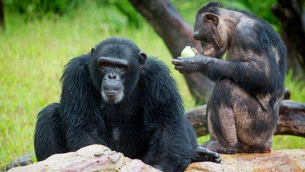 Wild chimps carry out night-time crop raids, footage reveals, suggesting the animals are being pushed into risky foraging behaviour.