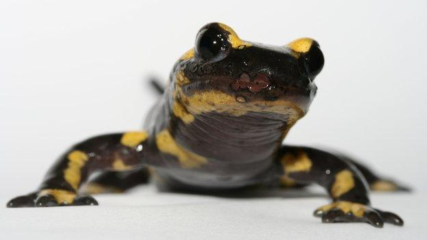 A skin-eating fungus threatens salamanders and newts across Europe, and probably arrived on pet amphibians imported from Asia.