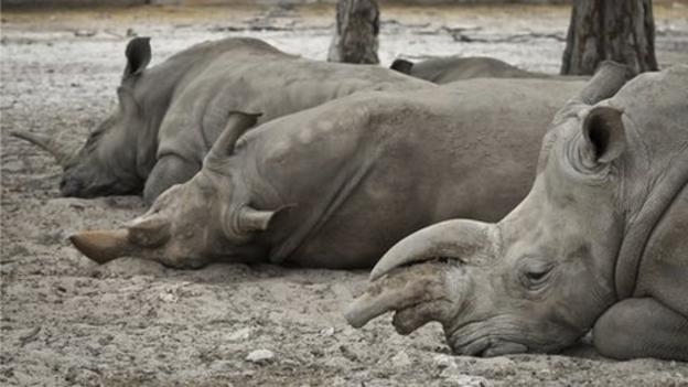 Researchers in the US investigate whether the hum and rumble of urban life is what makes rhinos reluctant to breed in captivity.