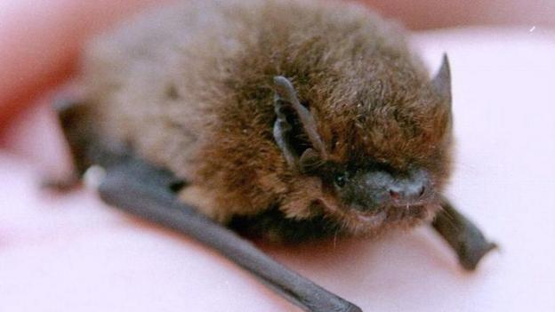 Populations of most of Britain's bat species are stable or increasing following previous years of decline, report says.