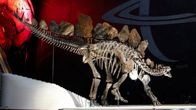 Scientists work out the body mass of the superb Stegosaurus specimen recently put on display at London's Natural History Museum.