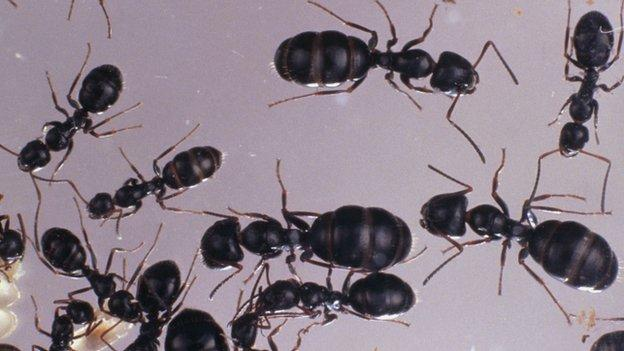 A study finds that ants on board the International Space Station still use teamwork to search new areas, despite falling off the walls of their containers for up to eight seconds.