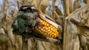Corn Smut, Huitlacoche, Corn, Fungus, Weird Food (Credit: Credit: Marvin Dembinsky Photo Associates/Alamy)