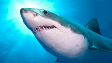 BBC - Earth - Revealing the secret lives of sharks