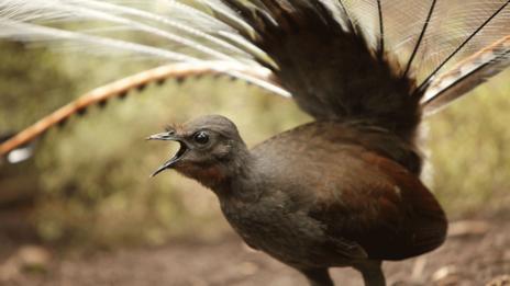 The superb lyrebird of southeastern Australia (Craig Dingle/Getty) (Credit: Craig Dingle/Getty)